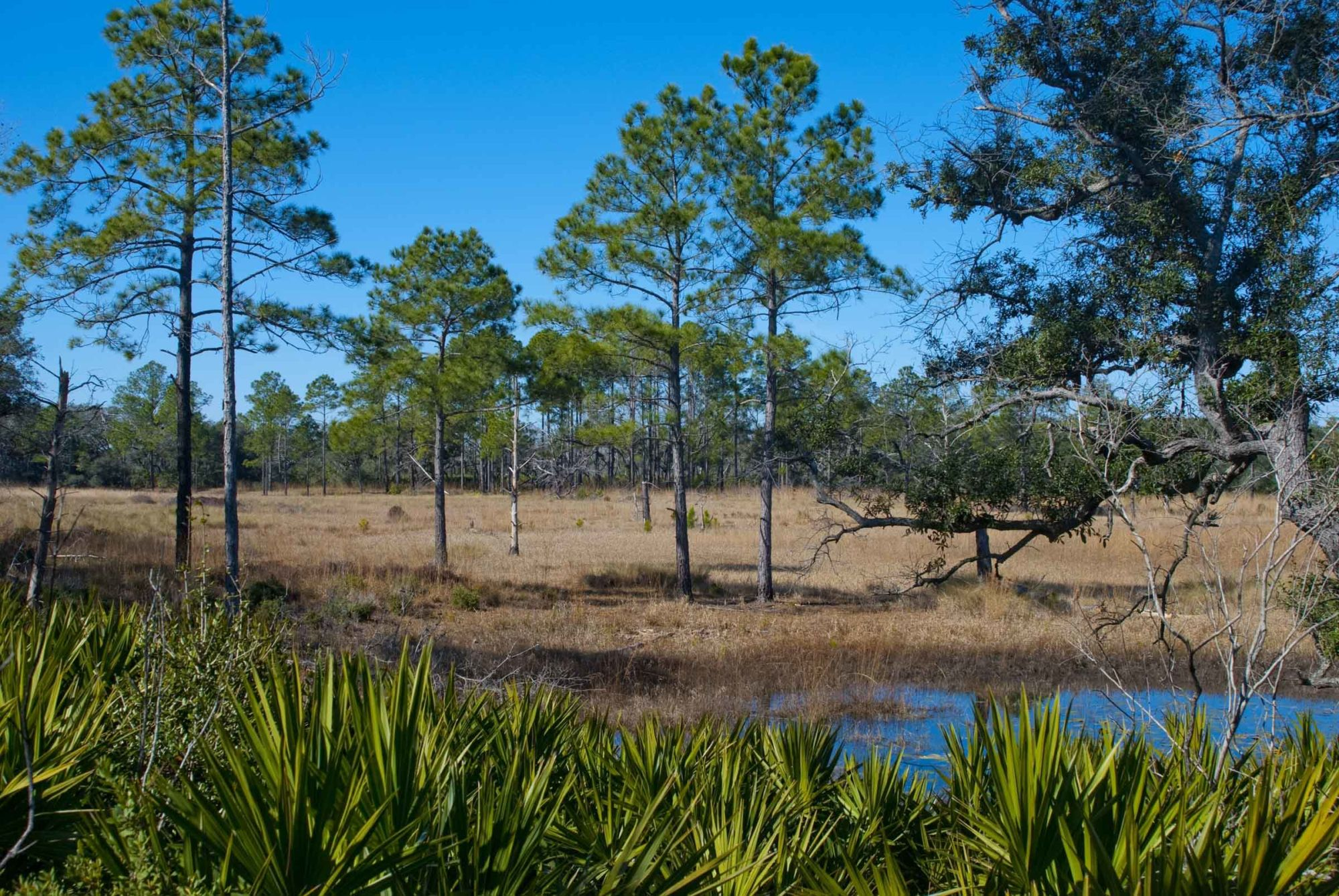 Pine scrub in Ocala National Forest