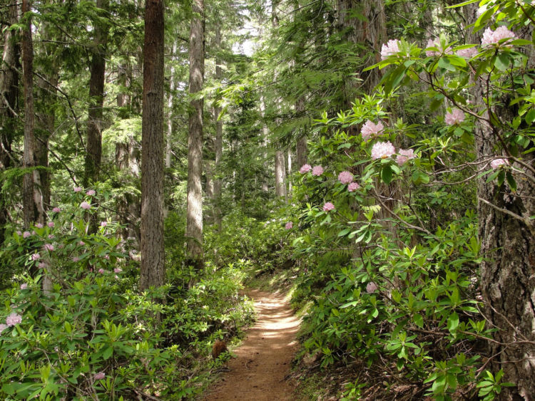 green national forest with trees pink flowers bushes trees and a brown dirt walking path