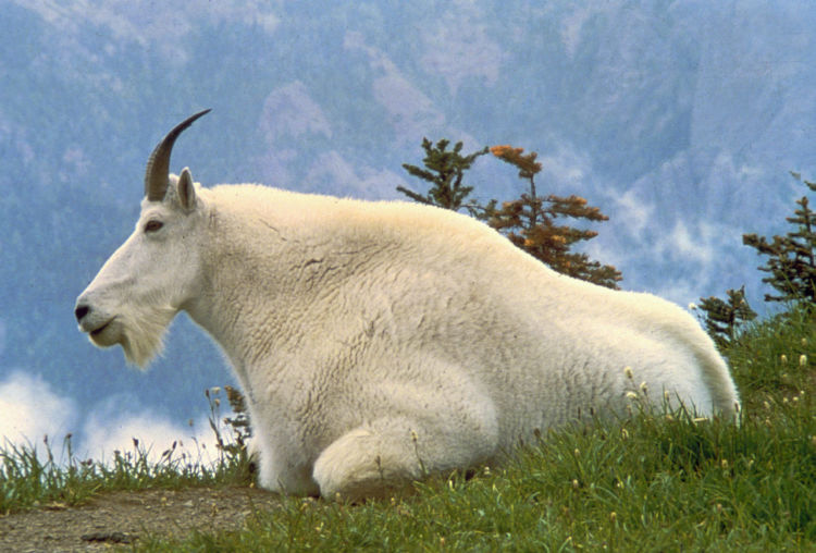 Eight Facts About Mountain Goats You Should Know - National