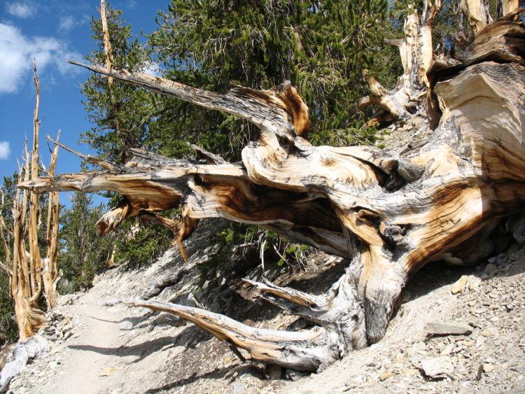 Bristlecone pine carbon dating 8